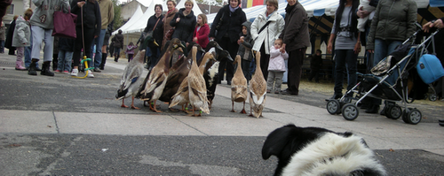 [PNG] 2008MARCHE_CHIEN_CANARDS